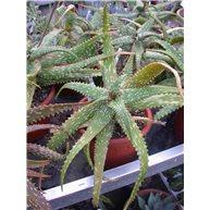 Aloe X somaliensis in 17cm pot