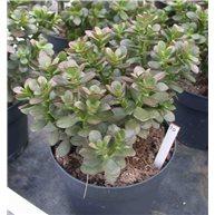 Crassula ovata f. minor 17cm pot