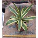 Agave americana variegata 18cm pot