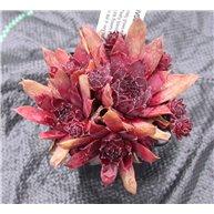 Sempervivum tectorum Rubin