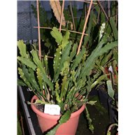 Epiphyllum hybrid 30cm pot