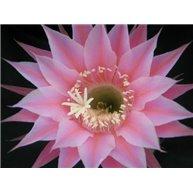Echinopsis Pink Camay