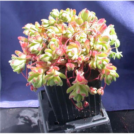 Rosularia sedoides alba