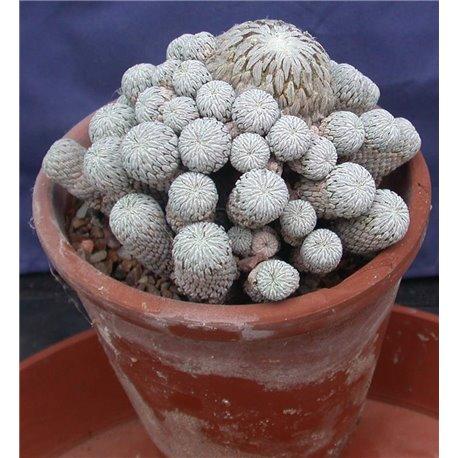 Pelecyphora aselliformis 43 heads
