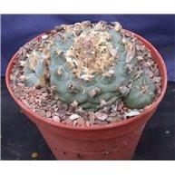 Lophophora williamsii 11cm