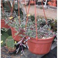 Senecio herreanus New Form in hanging pot