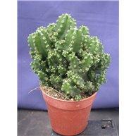 Cereus peruvianus f. Paolina