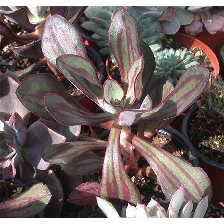 Echeveria nodulosa