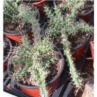 Echinocereus berlandieri 13cm pot