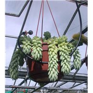 Sedum morganianum 14cm Hanging pot