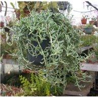 Senecio peregrinus 15cm hanging pot