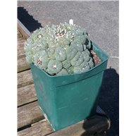 Lophophora williamsii 19cm