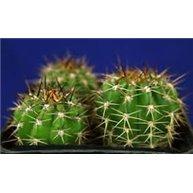 Echinopsis sucrensis