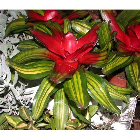 Neoregelia tricolor variegata