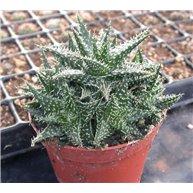 Aloe hybrid descoingsii x haworthioides hort.