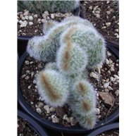 Cleistocactus sp. cristate