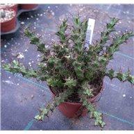 Euphorbia lenewtonii 8.5cm pot