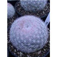 Mammillaria candida 10cm pots