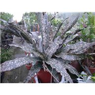 Sansevieria cylindrica Copper Toon