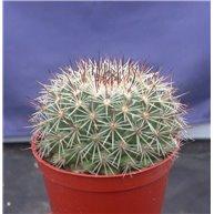 Mammillaria melanocentra SB557