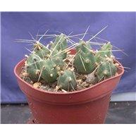 Tephrocactus bolivianus