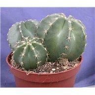 Echinocereus subinermis 3 plants in 10cm pot