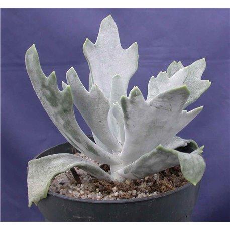 Cotyledon bifurcatum