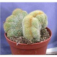 Notocactus leninghausii cristate