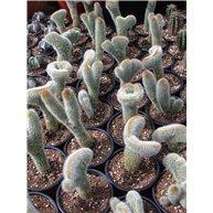 Cleistocactus sp. monstrosus