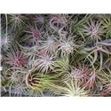 Tillandsia (Air plants) assorted £3