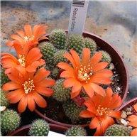 Rebutia fabrisii Orange