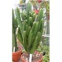 Euphorbia ingens no. 73