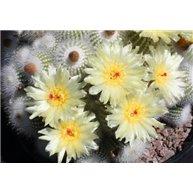 Notocactus scopa v. marchesii