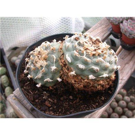 Lophophora williamsii E