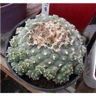 Lophophora williamsii G