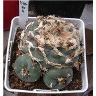 Lophophora williamsii I