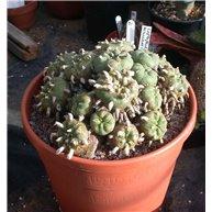 Lophophora williamsii N