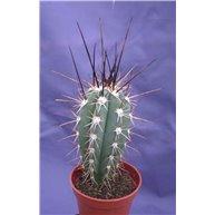 Stetsonia coryne 5cm pots