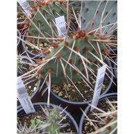 Opuntia pottsii x phaeacantha F2