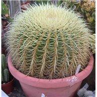 Echinocactus grusonii 35cm