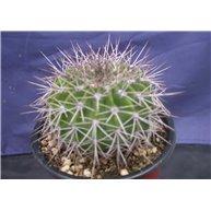 Acanthocalycium brevispinum LF43 La Pumilla