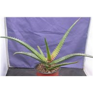 Aloe erythrophyllum Madagascar