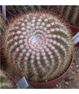 Notocactus aureispinus
