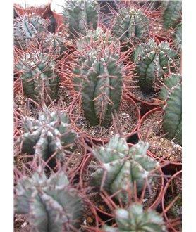 Euphorbia horrida 5cm pots