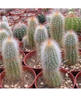 Cleistocactus tominense