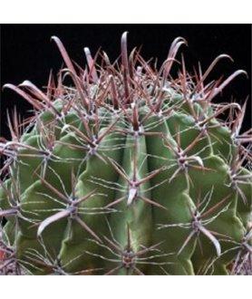 Ferocactus horridus v. longispinus