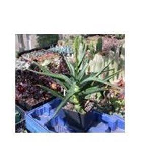 Aloe striatula