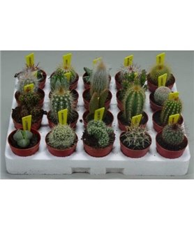 Wedding favours cactus 5cm