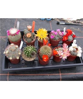 Easy Flowering Cactus Collection