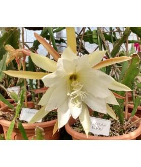 Epiphyllum Grecian Urn
